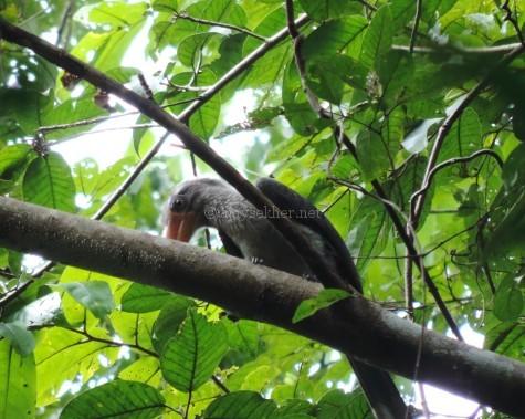 Malabar Grey Hornbill at Putatankettu, early Aug 2015