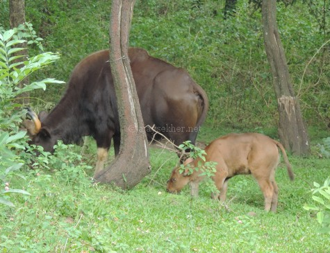 Indian Gaur and calf at Marayur sandal forest, early Sept 2015