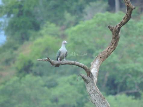 Green Imperial Pigeon at Chinnar, early Sept 2015