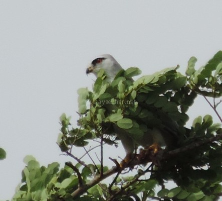 Black-shouldered Kite at Chinnar, early Sept 2015