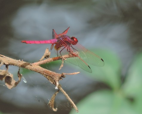 A Jewel dragonfly at Koottar the confluence of Chinnar and Pampar, early Sept 2015