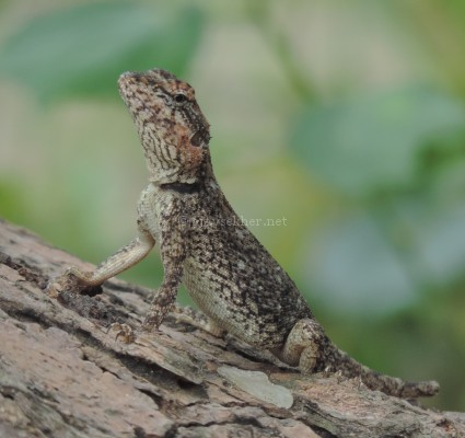 Gecko lizard at Koottar the confluence of Chinnar and Pampar, early Sept 2015.