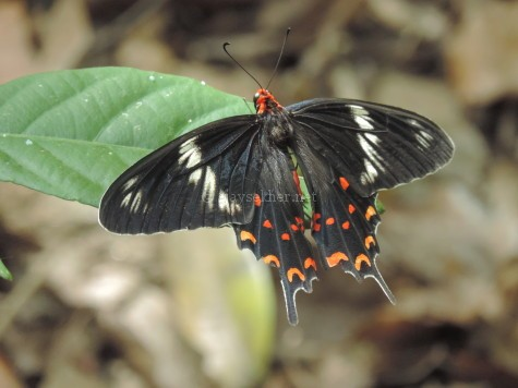 A Rose Butterfly at Chinnar, early Sept 2015