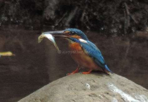 Small Blue Kingfisher at Chinnar, early Sept 2015.