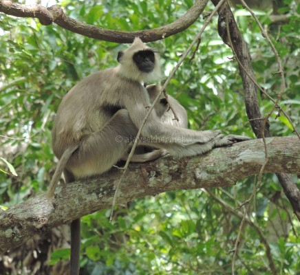 Tufted Grey Langur with young one at Chinnar, early Sept 2015.