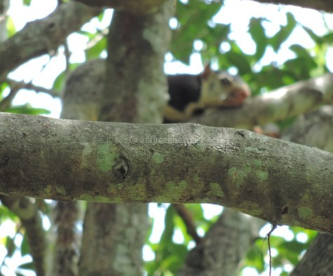 Grizzled Giant Squirrel the mascot of Chinnar sanctuary, early Sept 2015