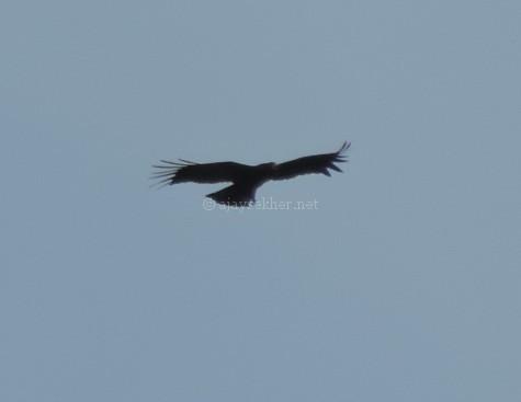 Black Eagle at Chinnar, early Sept 2015