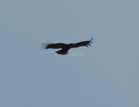 Black Eagle at Chinnar, early Sept 2015