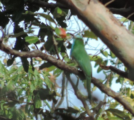 Blue-bearded Bee Eater at Chinnar, early Sept 2015.