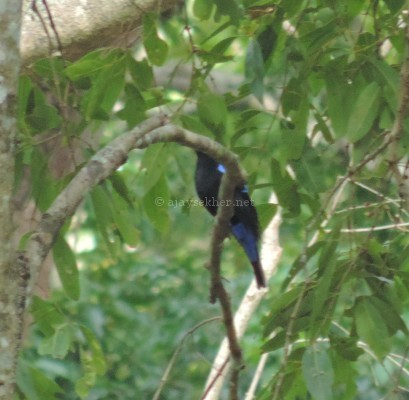 Fairy Bluebird at Chinnar, early Sept 2015.