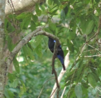 Fairy Bluebird at Chinnar, early Sept 2015.