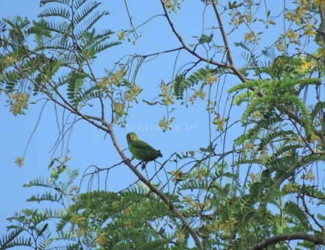 Lorikeet or Vernal Hanging Parrot at Chinnar, early Sept 2015.