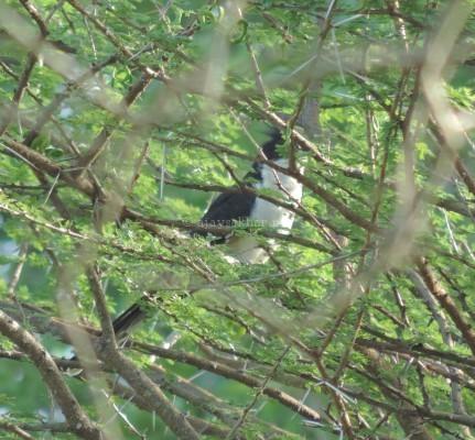 Pied Cuckoo at Chinnar, early Sept 2015