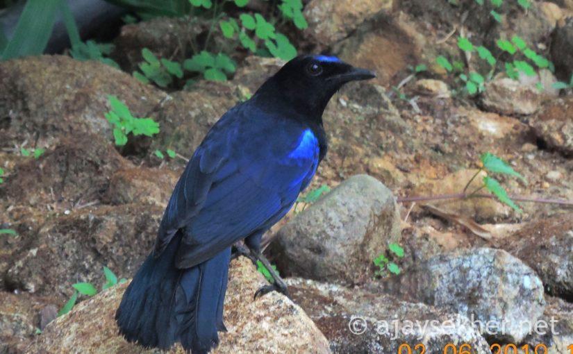 Fairies of the Mountain Stream: Avifauna in Mathikettan Shola National Park and Bodhi Hills, Under Erasure